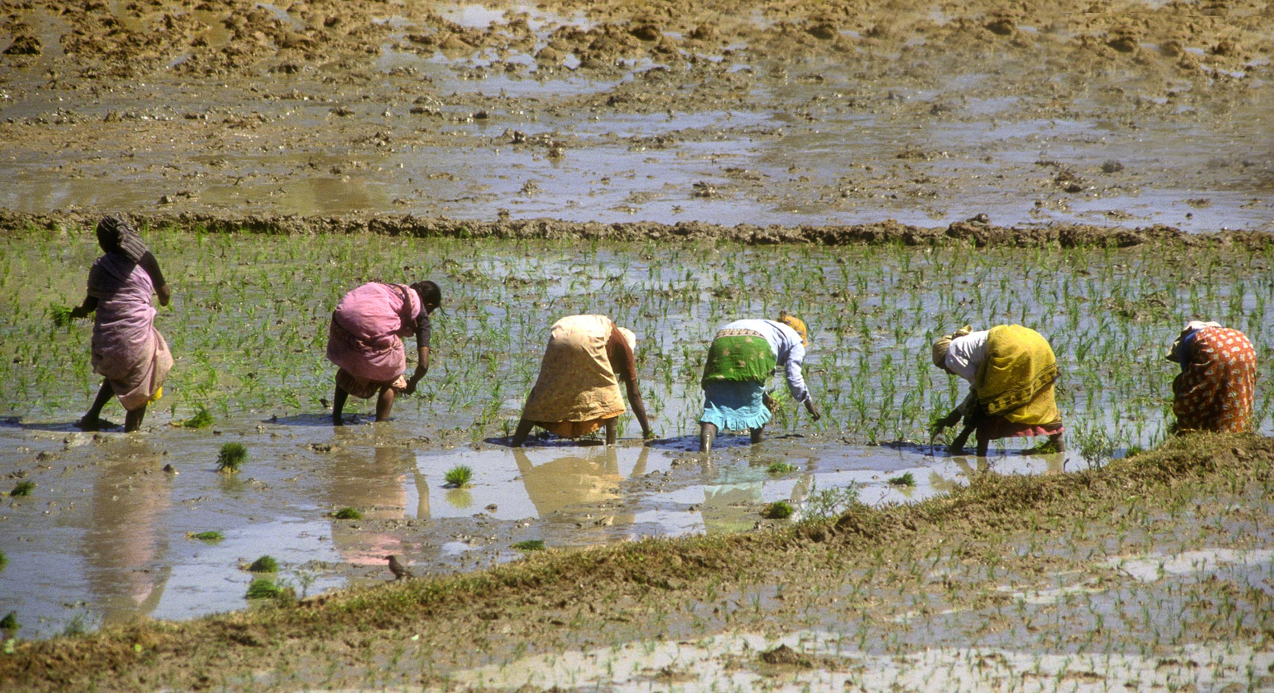 Rice Workers-Karnataka, India