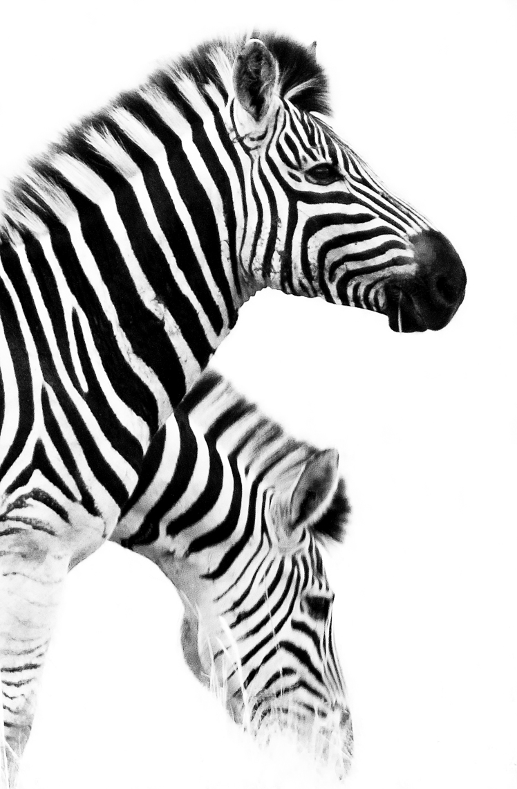 Two Zebras BW_.jpg