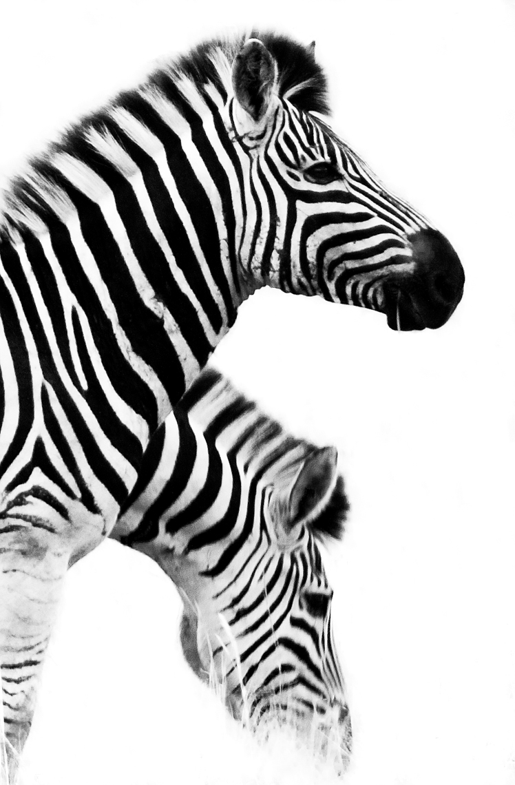Two Zebras BW graphic copy-DUP.jpg